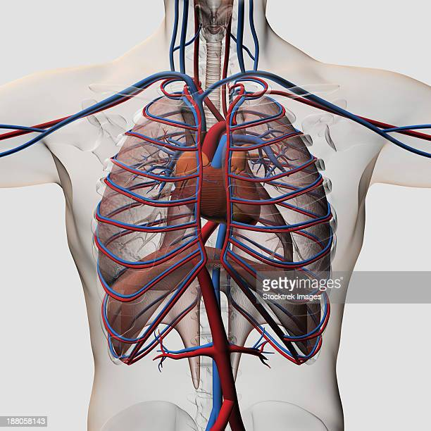 three dimensional medical illustration of male chest showing arteries, veins, heart and rib cage. - chest torso stock illustrations, clip art, cartoons, & icons