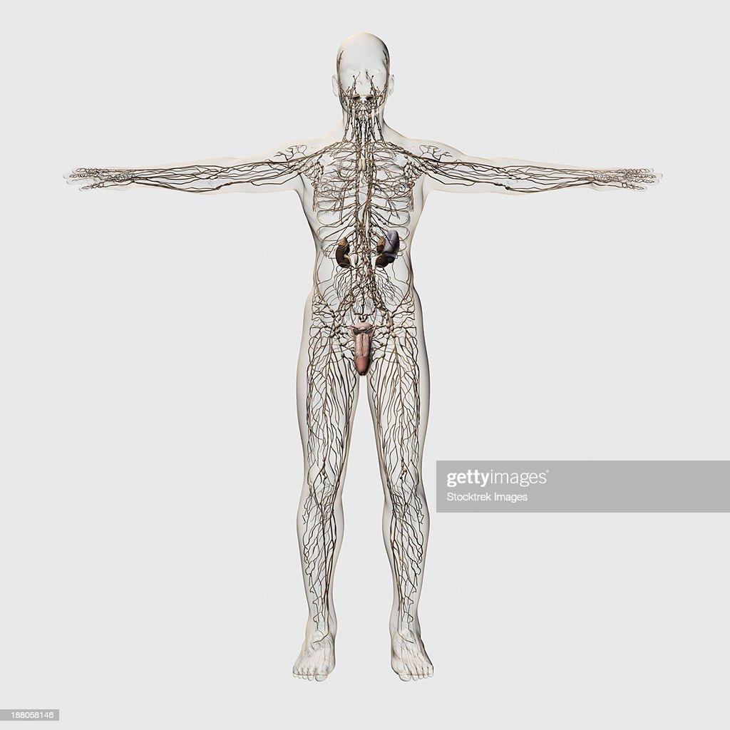Three Dimensional Medical Illustration Of Male Lymphatic System And