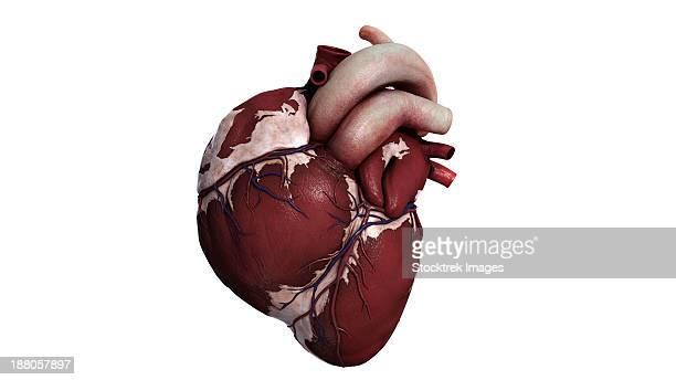 three dimensional view of human heart, front. - myocardium stock illustrations, clip art, cartoons, & icons