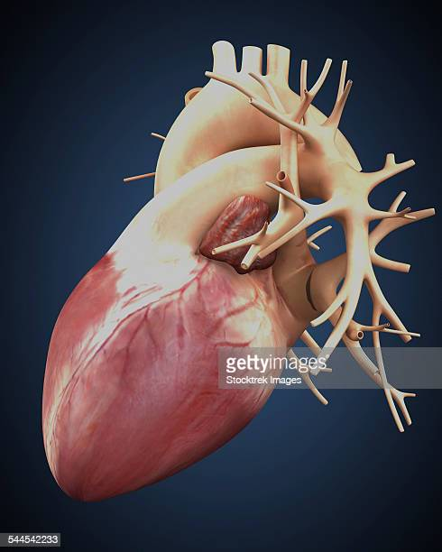 three dimensional view of human heart. - myocardium stock illustrations, clip art, cartoons, & icons