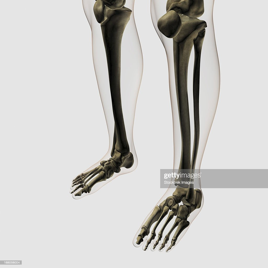 Three Dimensional View Of Human Leg And Feet Bones Stock