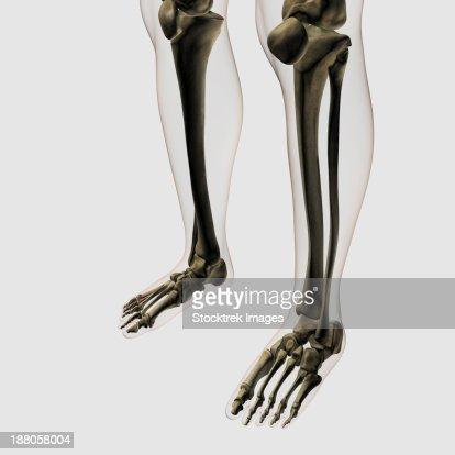 Three Dimensional View Of Human Leg And Feet Bones Stock