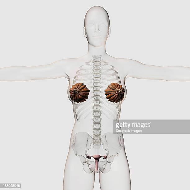 ilustraciones, imágenes clip art, dibujos animados e iconos de stock de three dimensional view of the female reproductive system, full frontal view. - trompas de falopio