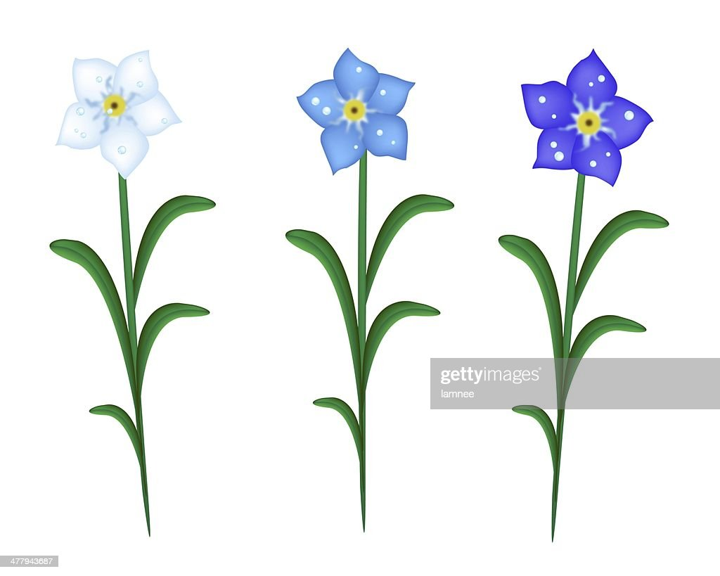 Three Forget Me Not Flowers On White Background Stock Illustration