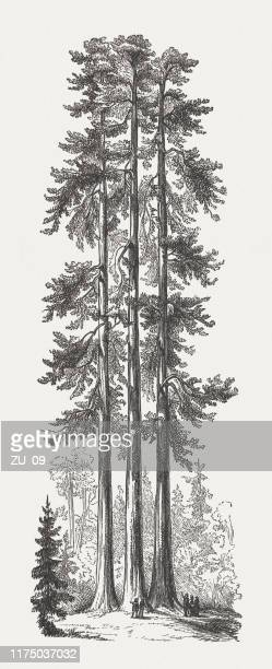 149 Redwood Tree High Res Illustrations Getty Images Redwood trees are giants in the tree world. 149 redwood tree high res illustrations getty images