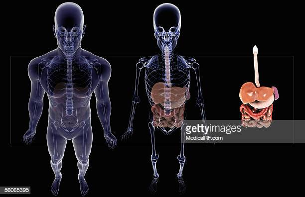 Three images of the digestive system  One within the human body, one within the skeletal system and one on its own.