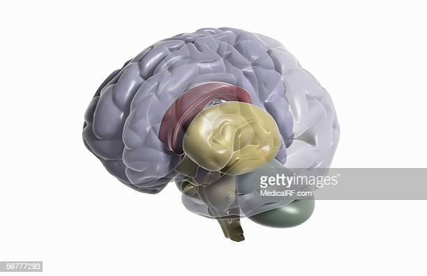 three quarter lateral view of a brain with the left half of the cerebrum faded down. - basal ganglia stock illustrations, clip art, cartoons, & icons