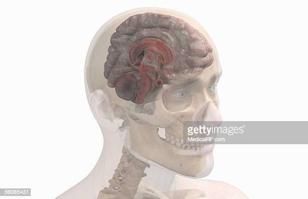 a three quarter lateral view of a sagittal sectioned brain. - pons stock illustrations, clip art, cartoons, & icons