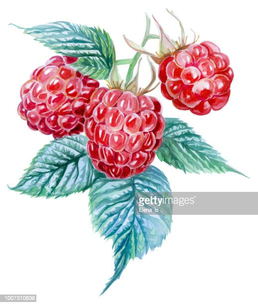 three raspberries on a white background. watercolor painting - raspberry stock illustrations, clip art, cartoons, & icons