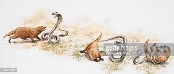 illustrazioni stock, clip art, cartoni animati e icone di tendenza di tre fasi della lotta tra mangusta e serpente velenose - mangusta
