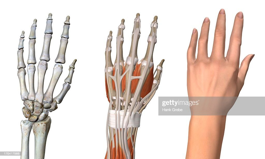three views of the female hand anatomy: skeletal, muscular, and skin  close