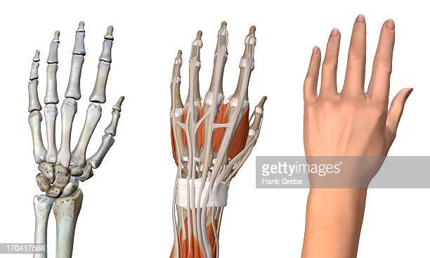 Three views of the female hand anatomy: skeletal, muscular, and skin. Close up, detailed anatomy, full color 3D illustration on white background