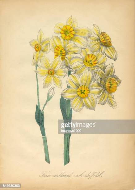 three-anthered rush daffodil victorian botanical illustration - daffodil stock illustrations, clip art, cartoons, & icons
