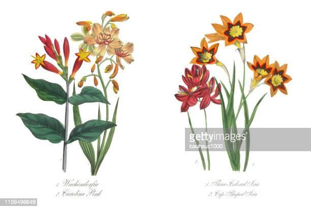 3色とカップ型のイクシアビクトリア朝植物イラスト - カリフォルニアバイケイソウ点のイラスト素材/クリップアート素材/マンガ素材/アイコン素材