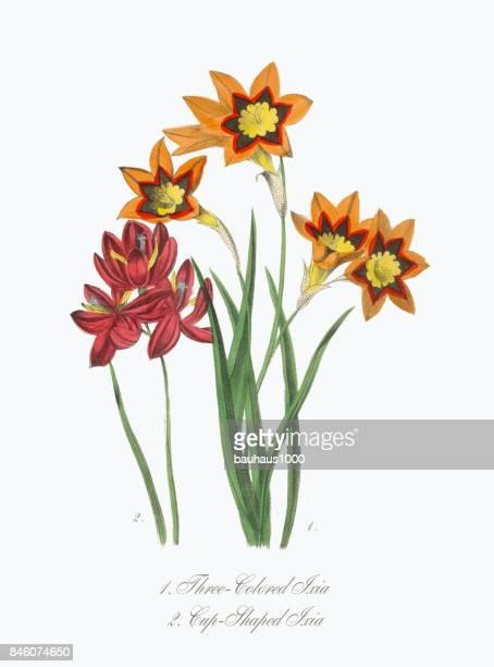 3 色とカップ状のイクシア ビクトリア朝の植物図 - カリフォルニアバイケイソウ点のイラスト素材/クリップアート素材/マンガ素材/アイコン素材