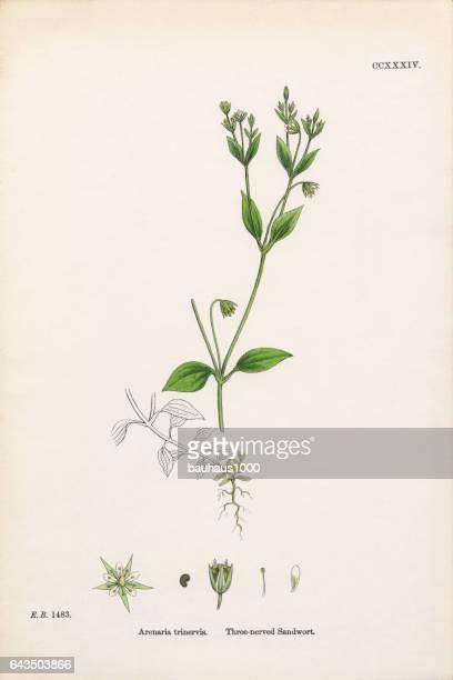 three-nerved sandwort, arenaria trinervis, victorian botanical illustration, 1863 - sandwort stock illustrations, clip art, cartoons, & icons