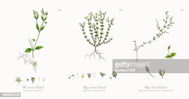 three-nerved sandwort, arenaria trinervis, victorian botanical illustration, 1863 - chickweed stock illustrations, clip art, cartoons, & icons