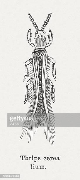Thrips (Thysanoptera)