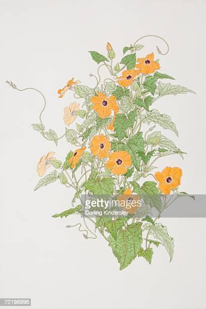 ilustraciones, imágenes clip art, dibujos animados e iconos de stock de thunbergia alata, black-eyed susan plant, front view. - educacion fisica