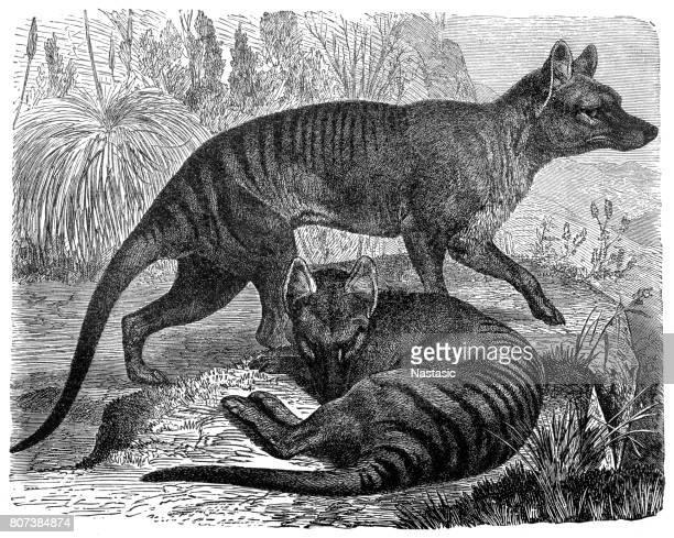 ilustraciones, imágenes clip art, dibujos animados e iconos de stock de thylacinus cynocephalus (tigre de tasmania, lobo de tasmania, tilacino) - animal extinto