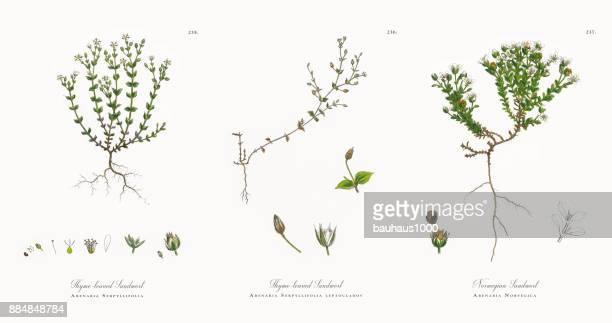 thyme-leaved sandwort, arenaria serpyllifolia, victorian botanical illustration, 1863 - sandwort stock illustrations, clip art, cartoons, & icons