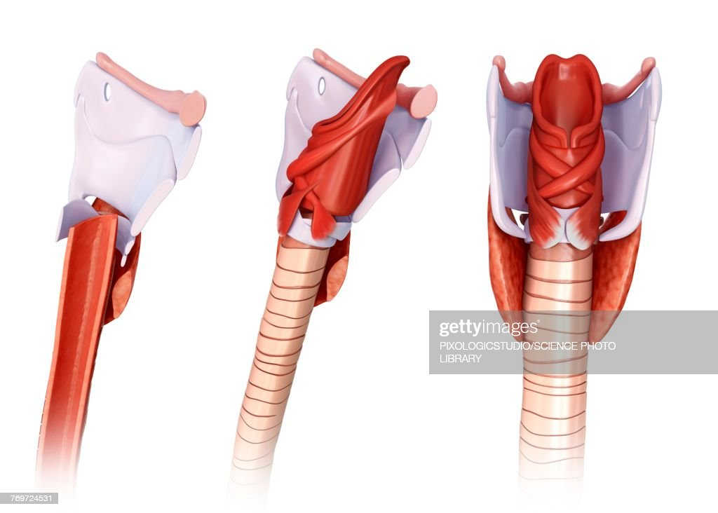 Thyroid Cartilage Anatomy Illustration Stock Illustration | Getty Images