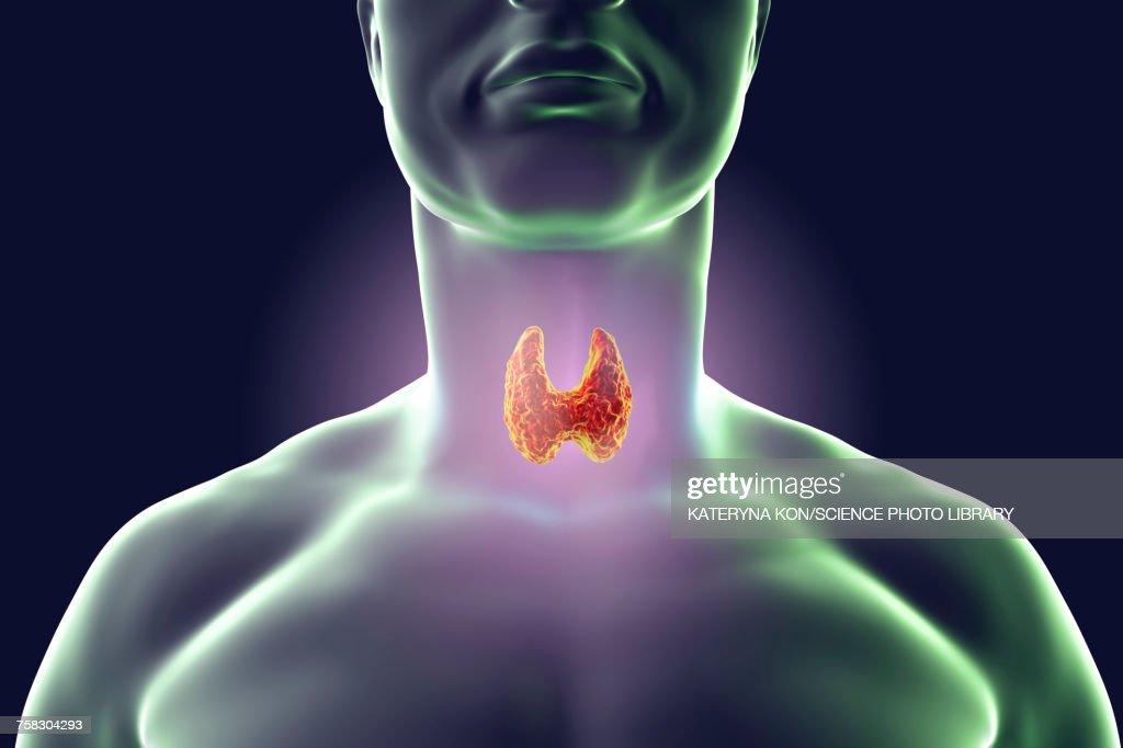 Thyroid Gland Artwork Stock Illustration Getty Images