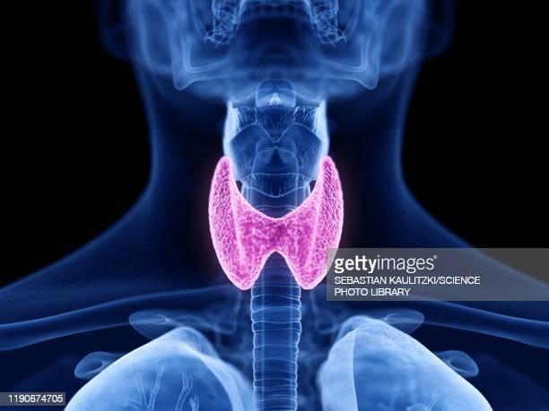 thyroid gland, illustration - human gland stock illustrations