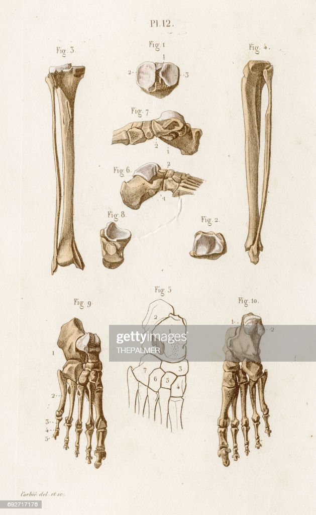 Tibia Anatomy Engraving 1886 Stock Illustration Getty Images