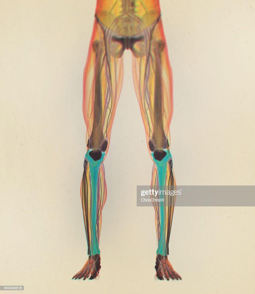 Tibia Bone Human Anatomy 3d Illustration Stock Illustration Getty