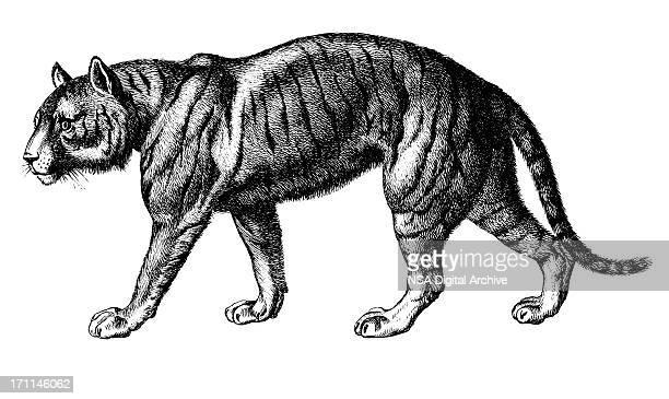 Tiger | Antique Animal Illustrations
