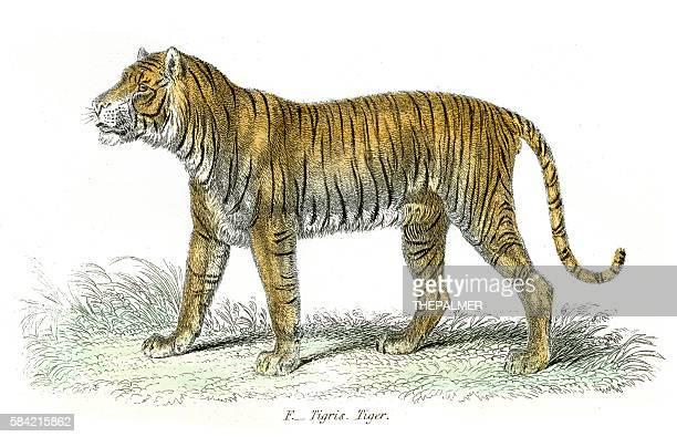 ilustrações, clipart, desenhos animados e ícones de tiger engraving 1803 - animal mane