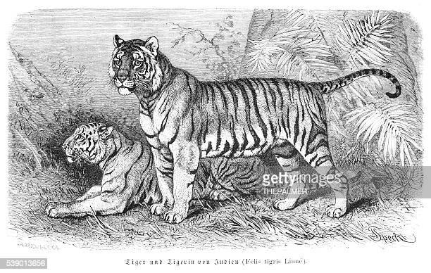 tiger engraving 1882 - animal mane stock illustrations