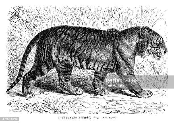 ilustrações, clipart, desenhos animados e ícones de tiger estampa em 1896 - animal mane