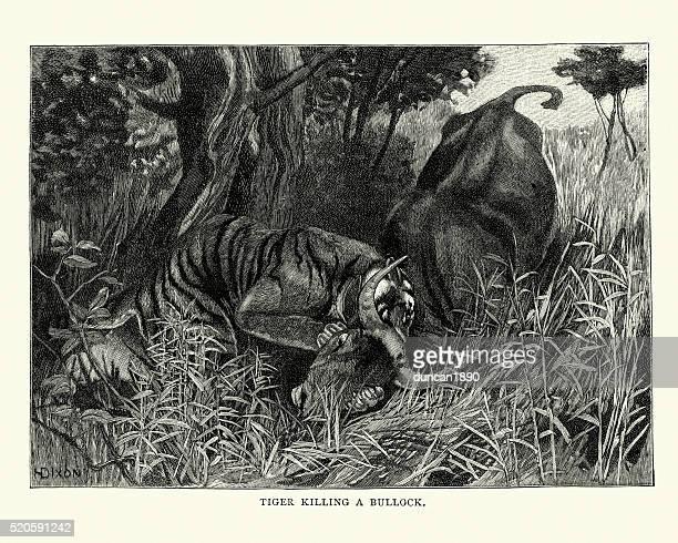 Tiger killing a bullock, India, 19th Century