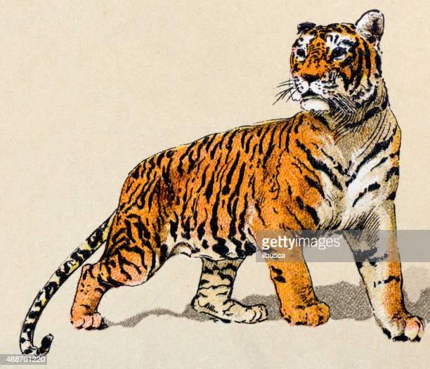 ilustraciones, imágenes clip art, dibujos animados e iconos de stock de tiger, mamíferos animales antigüedades de ilustración - tigre