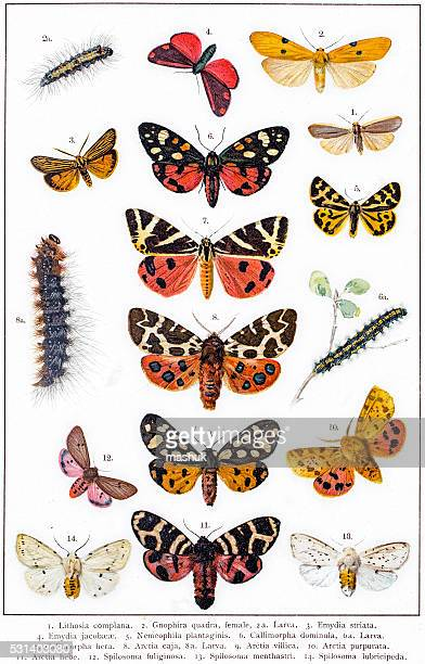 Tiger moth and other butterflies