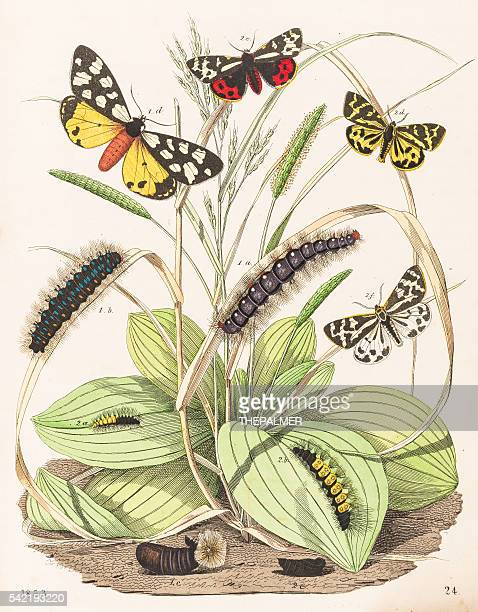 Tiger moths butterflies engraving 1853