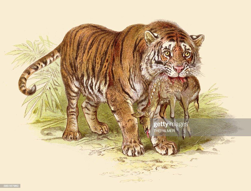 Tiger with deer prey illustration 1888 : stock illustration