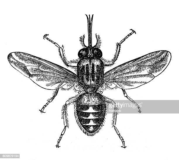 tik-tik fly or tsetse (glossina morsitans) - tsetse fly stock illustrations