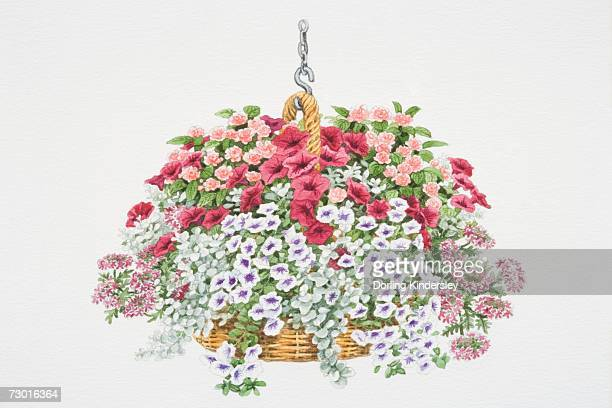 tiny red flowers of verbena 'carousel', purple-white flowers of petunia 'surfinia blue vein', pink rose-like flowers of impatiens or busy lizzie - hanging basket stock illustrations