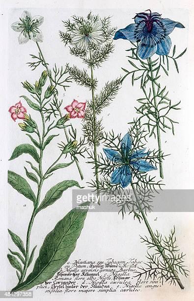 tobacco and nigella plants,  a 18th century botanical illustration - tobacco crop stock illustrations, clip art, cartoons, & icons