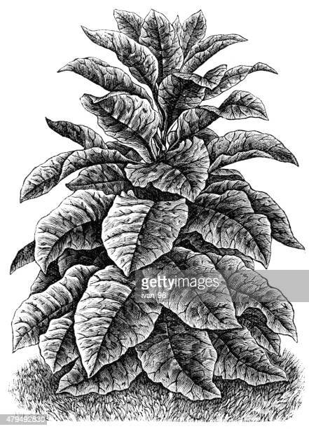 tobacco - tobacco crop stock illustrations, clip art, cartoons, & icons