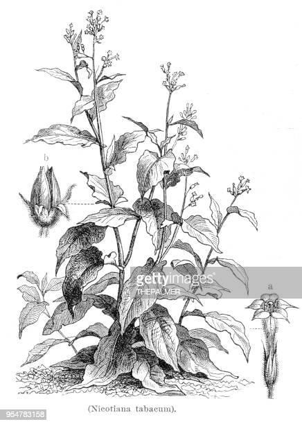 tobacco plant botanical engraving 1894 - tobacco crop stock illustrations, clip art, cartoons, & icons