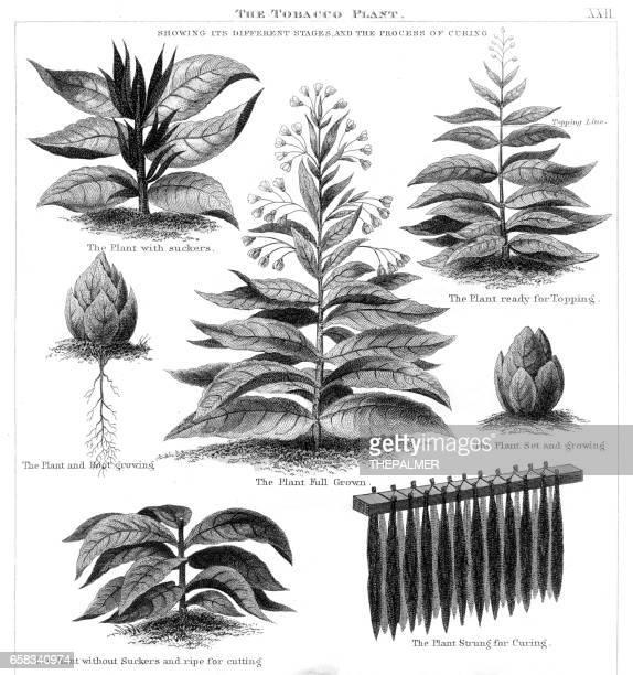tobacco plant engraving 1873 - tobacco crop stock illustrations, clip art, cartoons, & icons