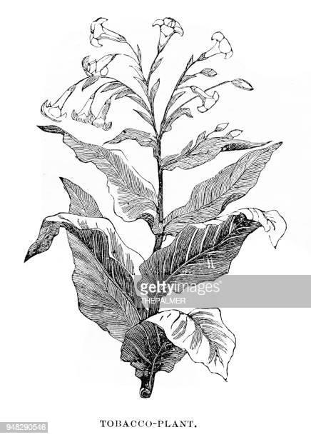 tobacco plant engraving 1876 - tobacco crop stock illustrations, clip art, cartoons, & icons