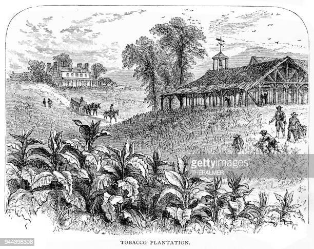 tobacco plantation engraving 1881 - tobacco crop stock illustrations, clip art, cartoons, & icons