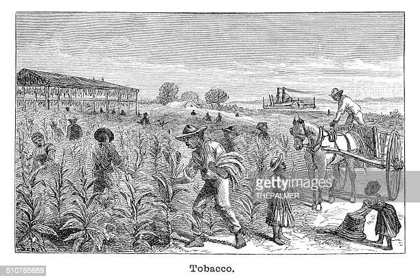 Tobacco plantation engraving illustration