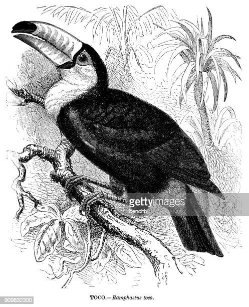 toco toucan - toucan stock illustrations