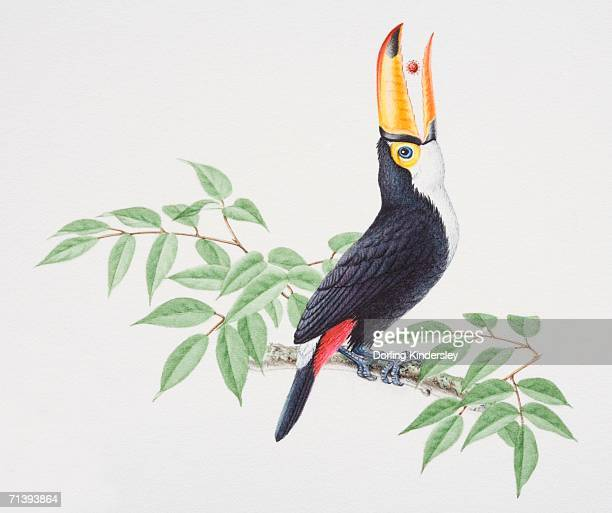 Toco Toucan, Ramphastos toco, perched on tree branch raising its head backward to swallow fruit from beak, side view.